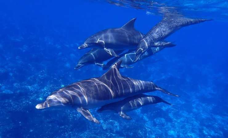 Un branco di delfini a nuoto (Foto Pixabay)