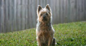 Malattie più comuni dell'Australian Silky terrier