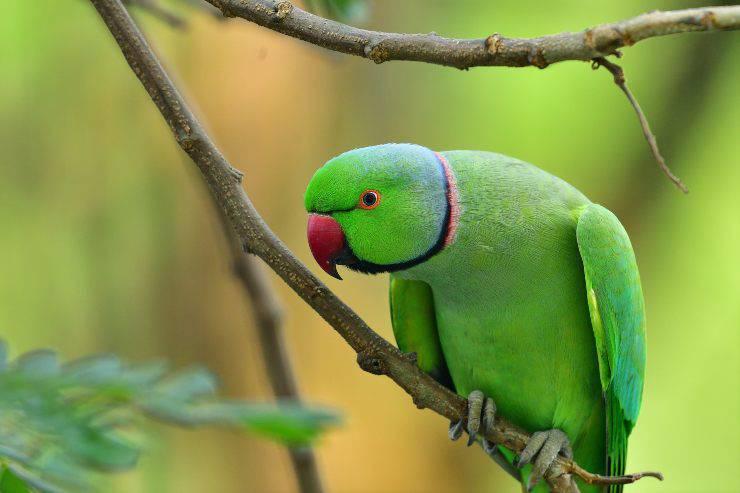 Come non far beccare il pappagallo