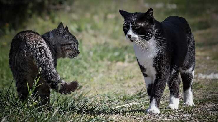 territorialità gatto