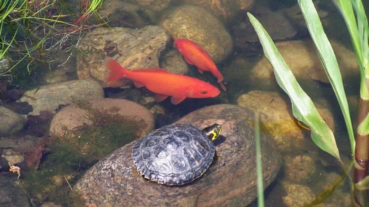 Tartarughe e pesci rossi in casa