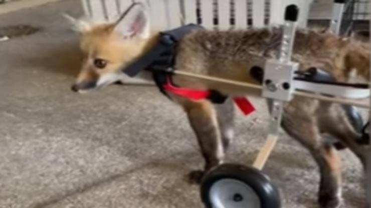 la volpe riprende a camminare (Foto video)