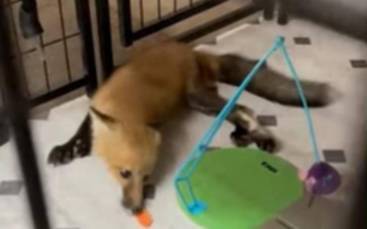 La volpe che gioca (Foto video)