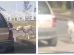 Cucciolo abbandonato insegue l'auto (Screen video)