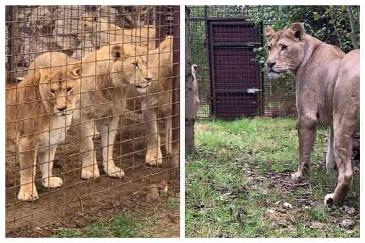 7 leoni liberati (Screen Facebook)