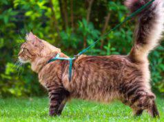 Come scegliere il guinzaglio per il gatto