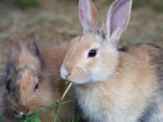 Lepre e coniglio differenze