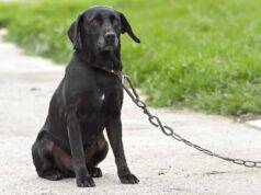 Triste cane nero alla catena