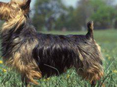 Adottare un Australian Terrier