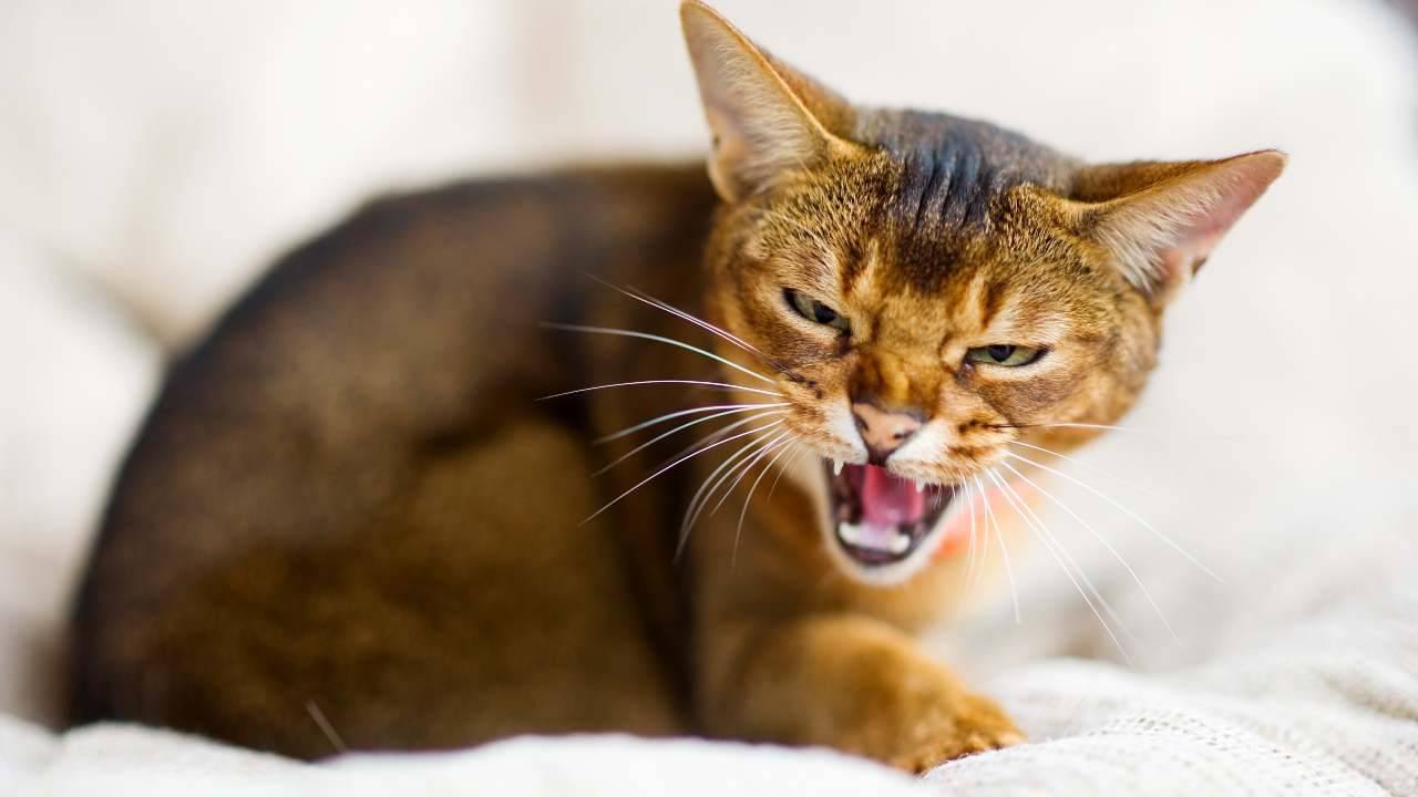 Esiste la museruola per il gatto?