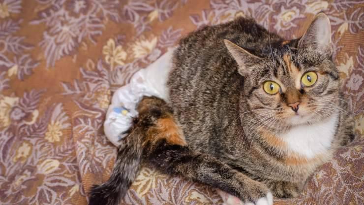 Mettere il pannolino al gatto