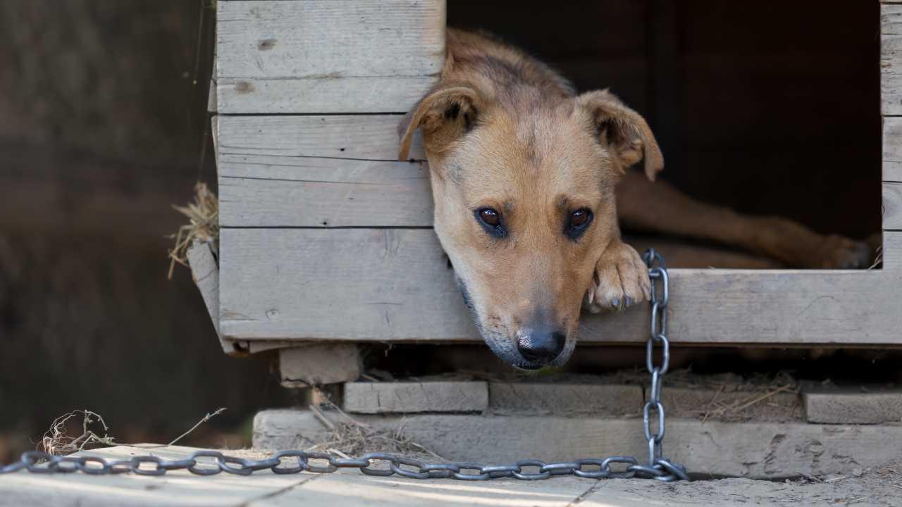 In Piemonte è legale tenere il cane alla catena?
