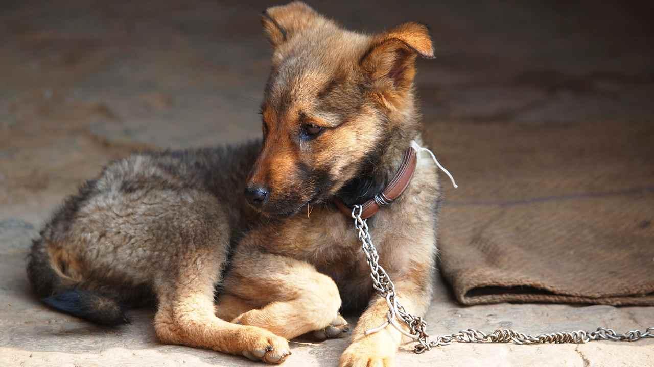 Vietato tenere cani alla catena in Campania