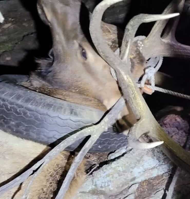 Alce durante il salvataggio (Screen video)