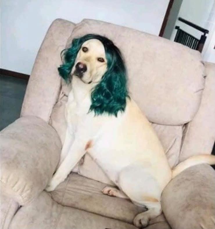 Cane che si mette in posa con la sua nuova parrucca (Screen Facebook)