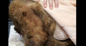 Cane coperto di pelo