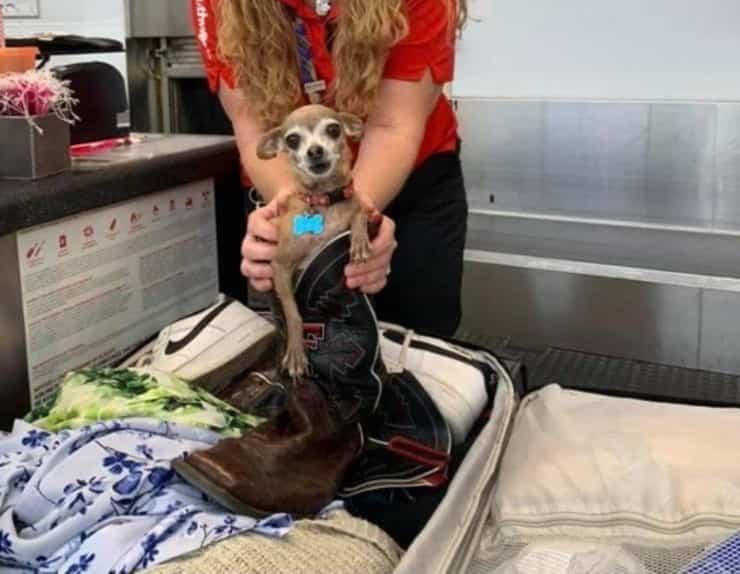 Chihuahua nascosto nella valigia (Screen Facebook)