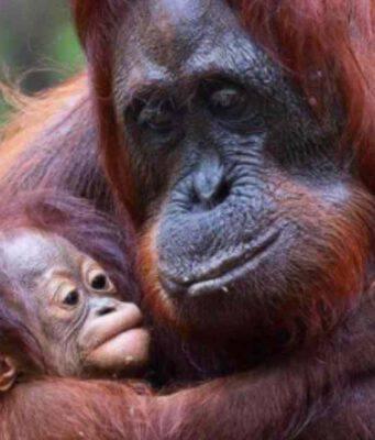 Femmina di Orango in dolce attesa
