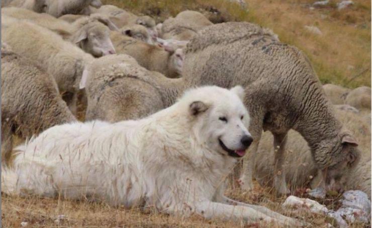 Il cane guardiano del gregge