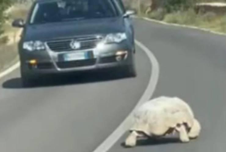La tartaruga in tangenziale