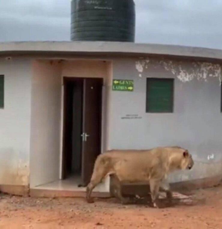 Leone fuori dal bagno (Screen video)