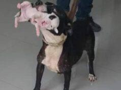 Mamma Pitbull protegge il suo cucciolo