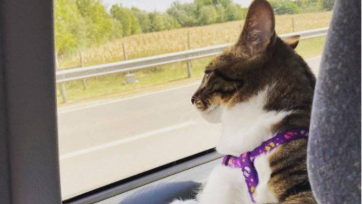 Un gatto in auto