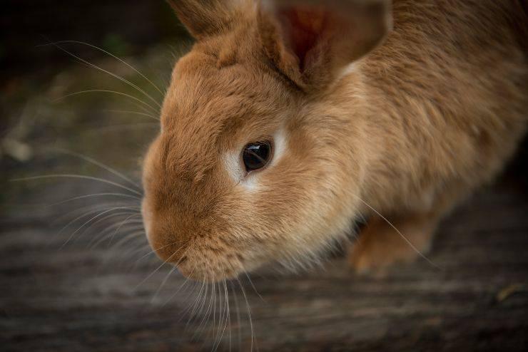 Encefalite del coniglio