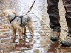asciugare cane passeggiata pioggia