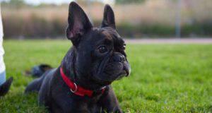 il cane rubato e venduto per poche sterline trovato a 260 km da casa (Foto Pixabay)