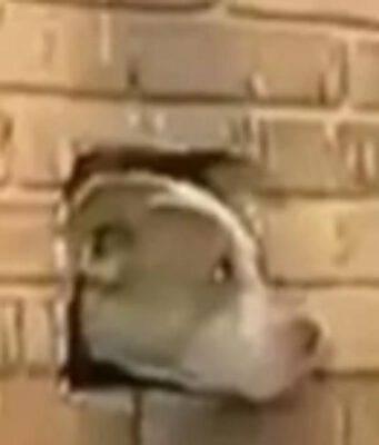 Cane nel foro della parete (Foto video)