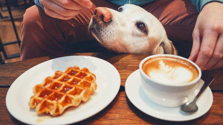 cane può mangiare waffle