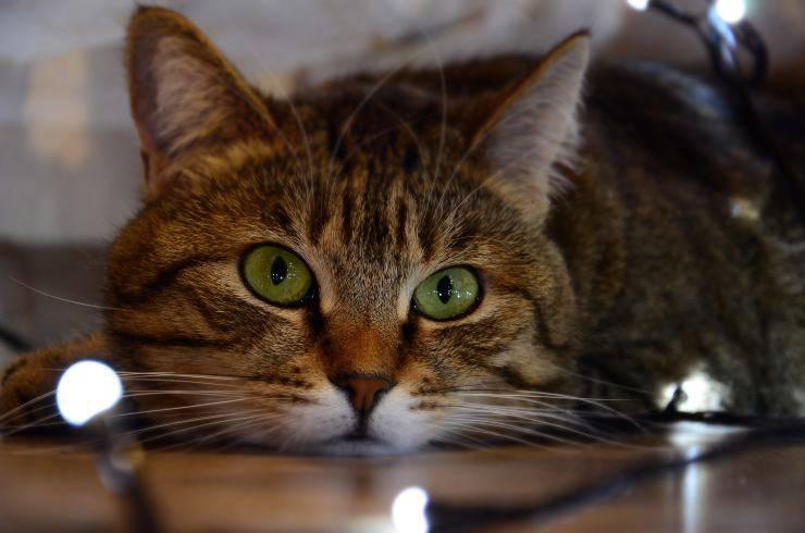 Come impedire al gatto di masticare cavi