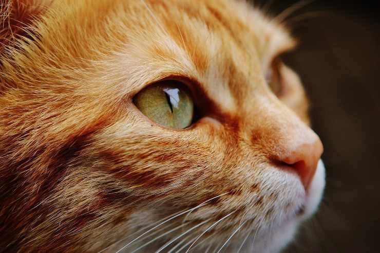 Calazio nel gatto