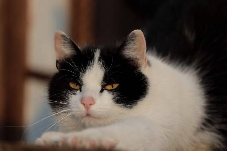 Il gatto è aggressivo con gli ospiti