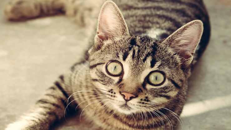 gatto dallo sguardo vispo (Foto Pixabay)