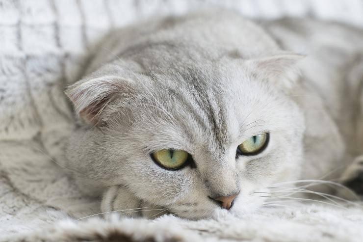Razze di felini molto indifferenti