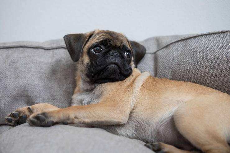 Fido riposa sul divano