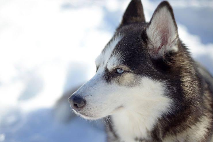 Cane resistente al freddo