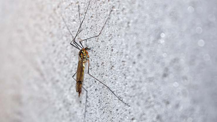 dove vanno le zanzare in inverno