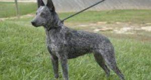 Razze compatibili con l'Australian stumpy tail cattle dog