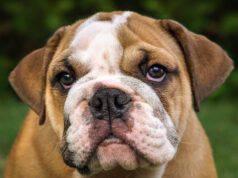 Bulldog inglese (foto Pixabay)