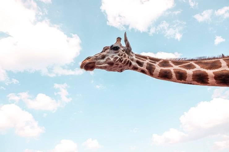 La caratteristica delle giraffe