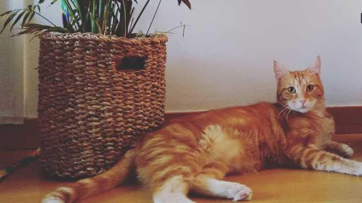 gatto egeo