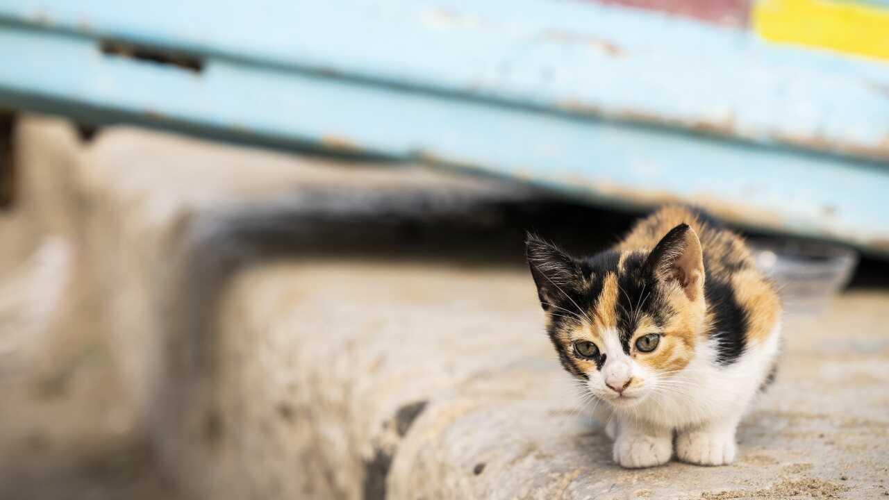 gigante di afrodite gatto egeo differenza
