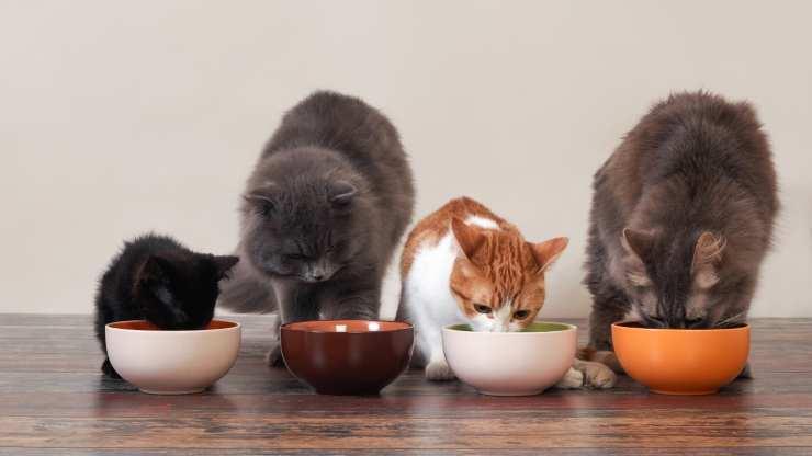 gatto può mangiare cibo per gattini