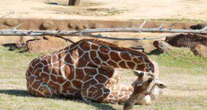 La giraffa e il modo di dormire