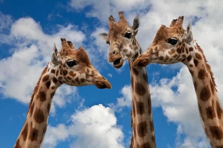 Perché le giraffe hanno il collo lungo