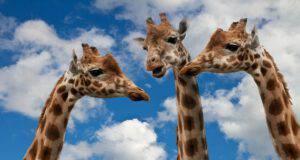 Il collo lungo delle giraffe