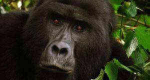 gorilla riconoscono voce umani
